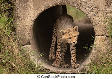 Cheetah cub stands in pipe lowering head