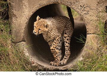 Cheetah cub stands in pipe raising paw