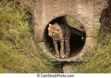 Cheetah cub stands in pipe twisting head