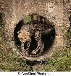 Cheetah cub turning round in concrete pipe