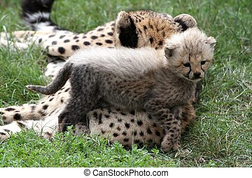 Young cheetah cub standing next to it's mother