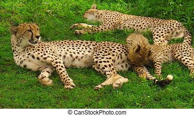 cheetah cubs cleaning with their mother in Ngorongoro...