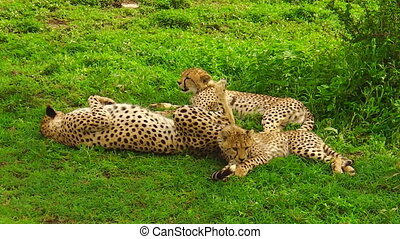 Cheetah cubs with mother - Two cheetah cubs with their...