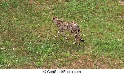 Cheetah exploring territory, in the hunt for a prey.