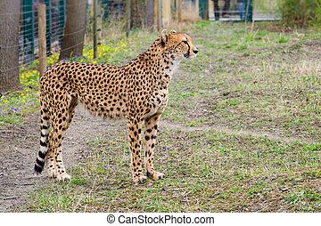 Cheetah Gepard, Acinonyx jubatus  standing on green grass