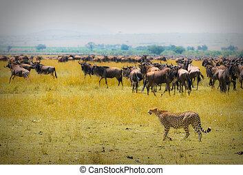 cheetah hunting, masai mara, kenya