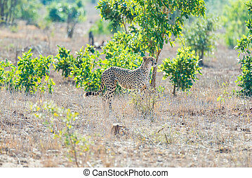 Cheetah in hunting position ready to run for an ambush. Kruger National Park, South Africa.