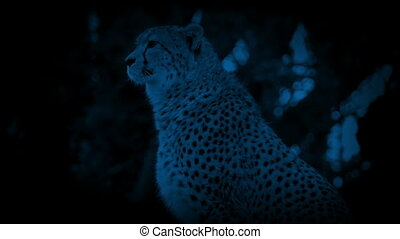 Cheetah In Jungle At Night - Cheetah sitting in the jungle...