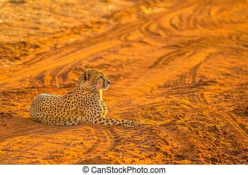 Cheetah in red desert
