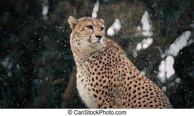 Cheetah In Snowfall