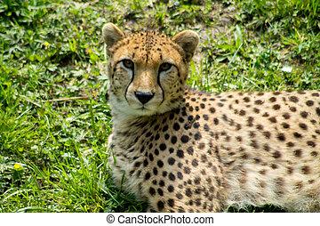 Cheetah in sun. Stock Photo
