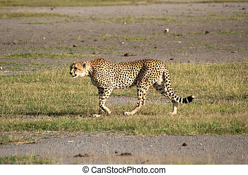 cheetah in tanzania national park