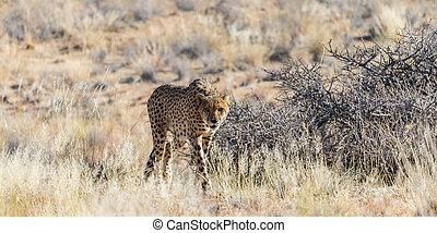 Cheetah in the Etosha National Park
