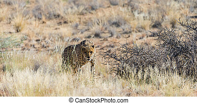 Cheetah in the Etosha National Park