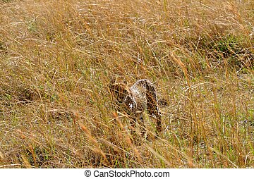 Cheetah in the park
