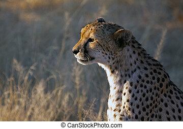 Cheetah in the veld no 2