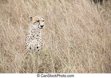 Cheetah in Veld