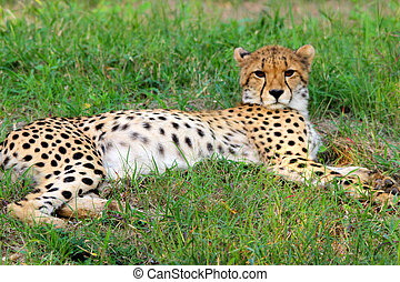 Cheetah Laying Down In Grass