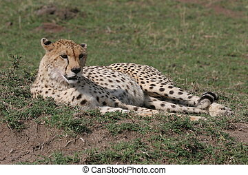 Cheetah laying in the grass with sunlight
