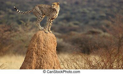 Cheetah look-out - Like the king of the savannah.