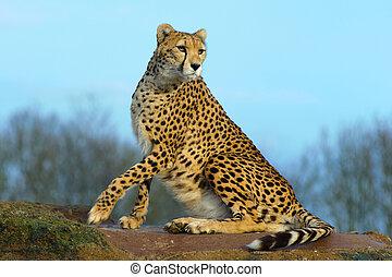 Cheetah looking alert - Cheetah sitting on rock looks alert