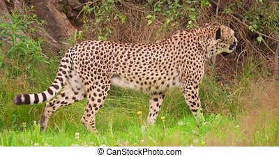 Cheetah looking around while walking in forest - Panning ...