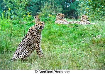 cheetah looking at the camera