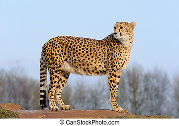 Cheetah looking back - Cheetah standing on a rock and...