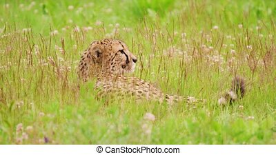 Cheetah lying on field in forest - Cheetah lying on grassy ...