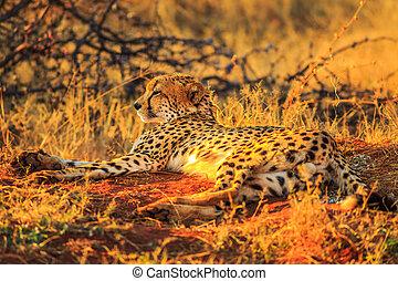 Cheetah lying red desert