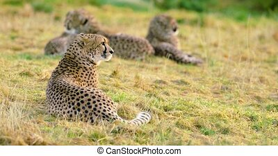 Cheetah mother with cubs looks after enemies - One cheetah...