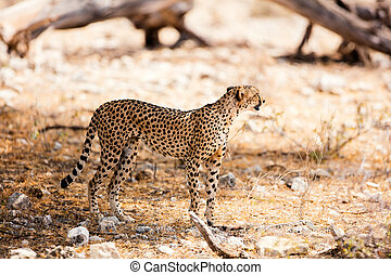 cheetah, nationaal park, samburu