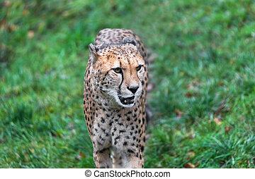 cheetah on a green meadow