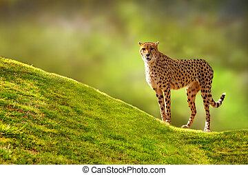 Cheetah on a Hill