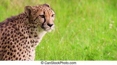 Cheetah on grassy field in forest - Handheld shot of cheetah...