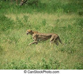 Cheetah on the run