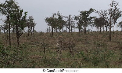 Cheetah overlooking the Serengeti plains in search for prey.