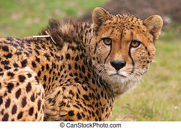 Cheetah - Pepo - This image was taken at a big cat breeding ...