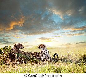Cheetah - cheetah