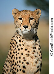 Cheetah portrait - Portrait of a cheetah (Acinonyx jubatus) ...