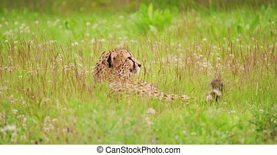 Cheetah relaxing on field in forest - Cheetah looking away ...