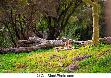 Cheetah Relaxing on Grass
