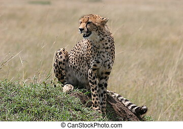 Cheetah resting in the grass with sunlight