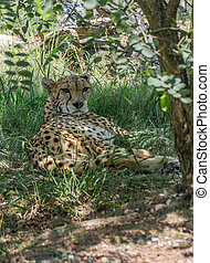 Cheetah resting in the shade of a tree