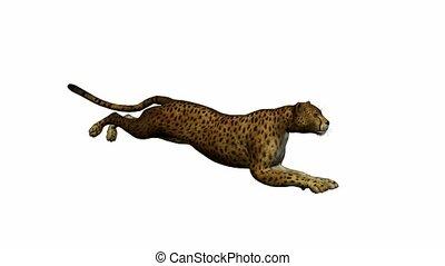 Cheetah Running - Cheetah running on a white background
