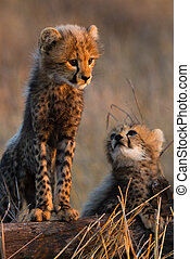 Cheetah siblings - Two tiny cheetah cubs standing on a tree ...