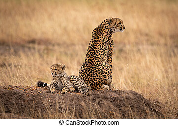 Cheetah sits by cub on earth mound