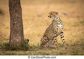 Cheetah sits looking past tree on grass