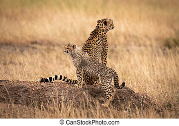 Cheetah sits on earth mound by cub