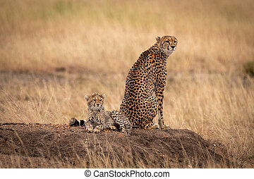 Cheetah sitting by cub on earth mound